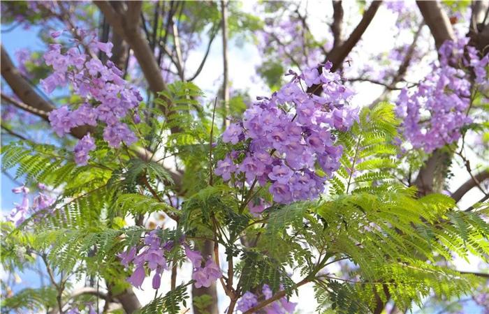 """大理的蓝花楹开了,邂逅一场""""蓝花雨"""",赴一场紫色浪漫!"""